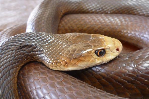 brown snake australia